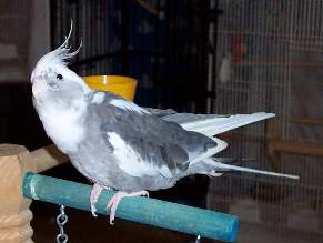 Whiteface cockatiel